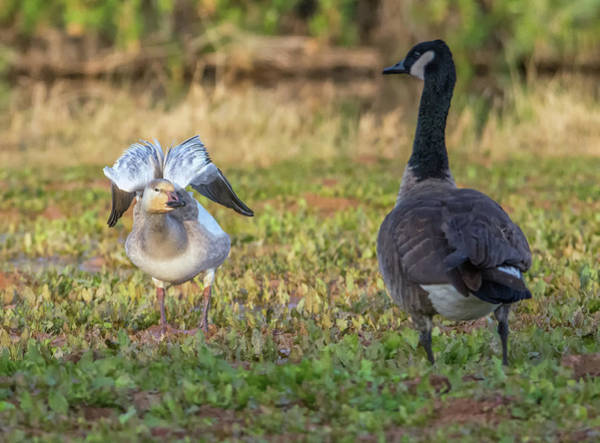 Photograph - Snow Goose And Canada Goose 1174-111818-1cr by Tam Ryan