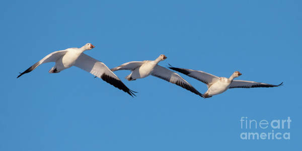 Snow Goose Photograph - Snow Goose Trio by Mike Dawson