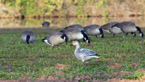 Photograph - Snow Goose With Canada Geese 1167-111818-1cr by Tam Ryan