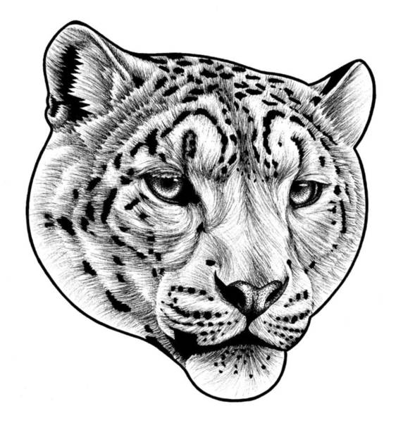 Zoo Animals Drawing - Snow Leopard - Ink Illustration by Loren Dowding