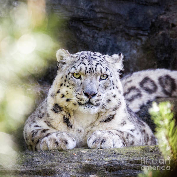 Wall Art - Photograph - Snow Leopard by Jane Rix