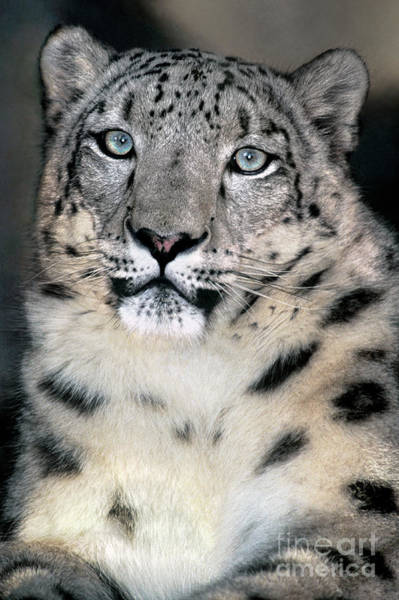 Photograph - Snow Leopard Portrait Endangered Species Wildlife Rescue by Dave Welling