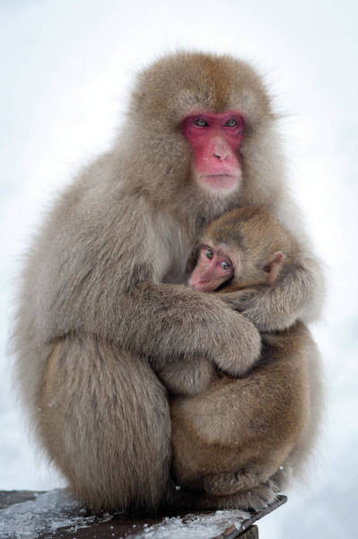 Snow Monkey Photograph - Snow Monkey by Patrick Shyu