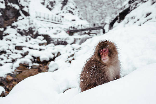 Snow Monkey Photograph - Snow Monkey by Photography By Martin Irwin