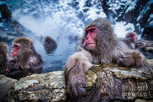 Hot Spring Wall Art - Photograph - Snow Monkey by Structuresxx