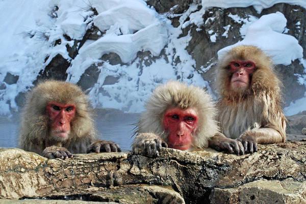 Snow Monkey Photograph - Snow Monkeys Bathing In Hot Springs by Photo By Jean-françois Chénier