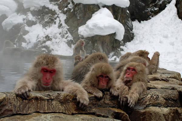 Snow Monkey Photograph - Snow Monkeys by P F Huber