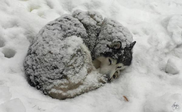 Photograph - Snow On A Siberian by Wayne King