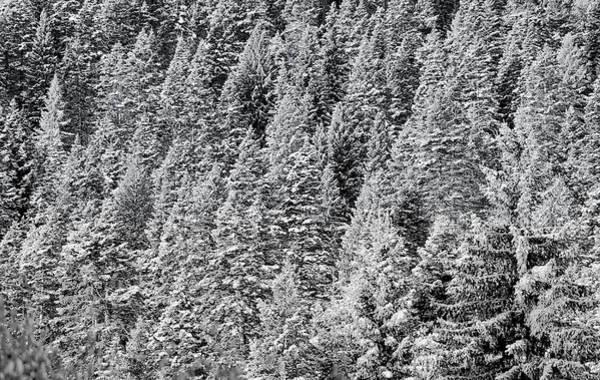 Photograph - Snow On Evergreens by Tom Gresham