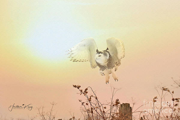 Wall Art - Photograph - Snow Owl Sunset by Heather King