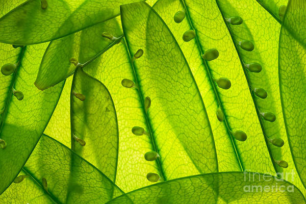 Wall Art - Photograph - Snow Peas Up Close by Juraj Kovac