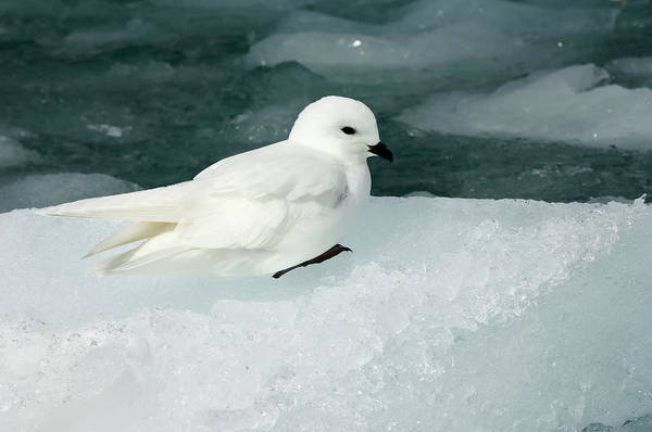 Ice Floe Photograph - Snow Petrel by Gabrielle Therin-weise