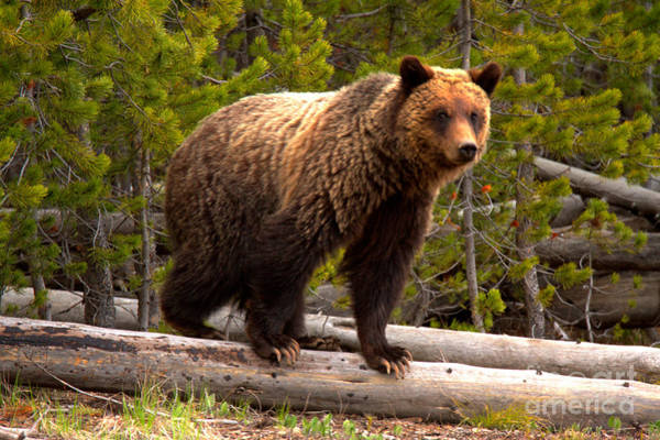 Photograph - Snow - The Yellowstone Grizzly Sow by Adam Jewell