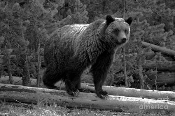 Photograph - Snow - The Yellowstone Grizzly Sow Black And White by Adam Jewell
