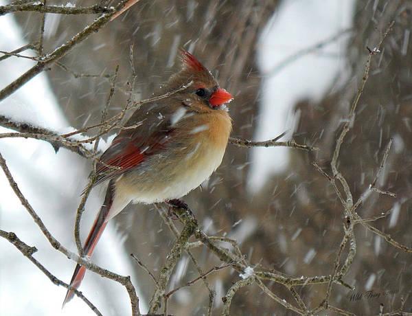 Photograph - Snowbird by Wild Thing