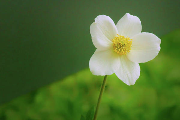 Wall Art - Photograph - Snowdrop Anemone by Nikolyn McDonald