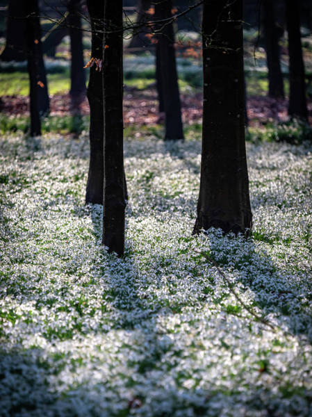Photograph - Snowdrop Carpet by Framing Places