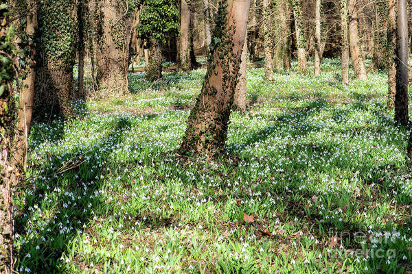 Photograph - Snowdrop Field In The Forest by Odon Czintos