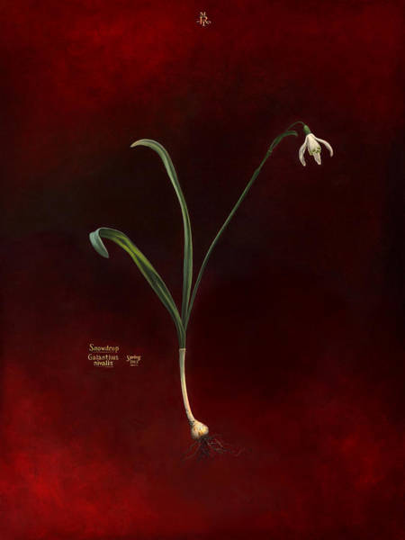 Snowdrop Painting - Snowdrop, Galanthus Nivalis by Martin Tielli