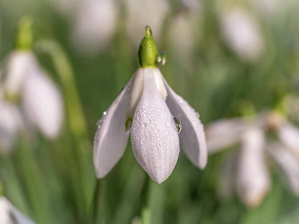Photograph - Snowdrop Head by Framing Places