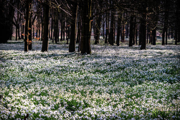 Photograph - Snowdrop Season by Framing Places