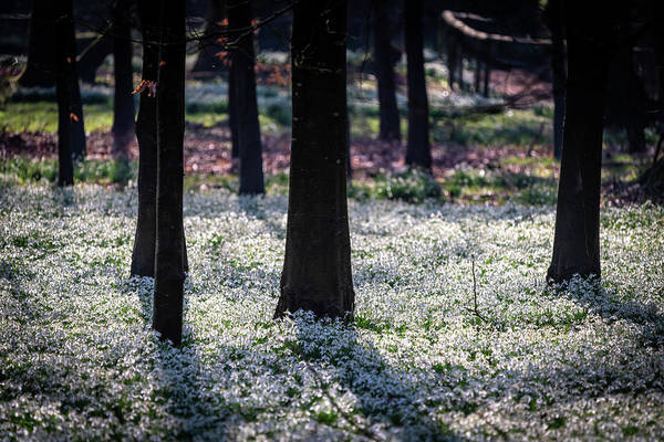 Photograph - Snowdrops And Shadows by Framing Places