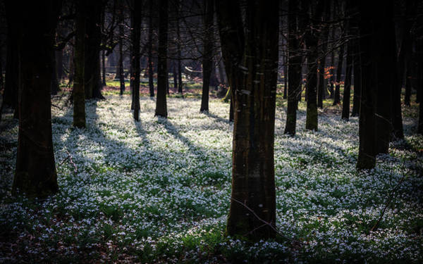 Photograph - Snowdrops At Welford by Framing Places
