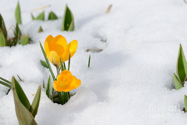Freshness Wall Art - Photograph - Snowdrops Crocus Flowers In The Snow by Er 09