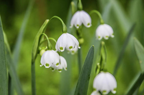 Photograph - Snowdrops by Dawn Richards