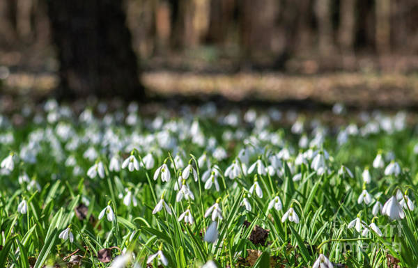 Photograph - Snowdrops Field by Odon Czintos