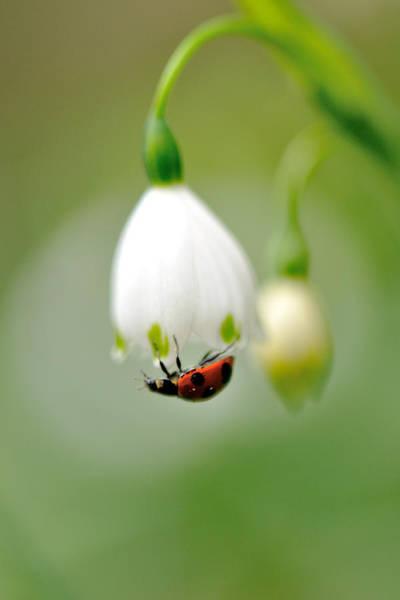 Ladybird Wall Art - Photograph - Snowflake With Ladybug by Myu-myu