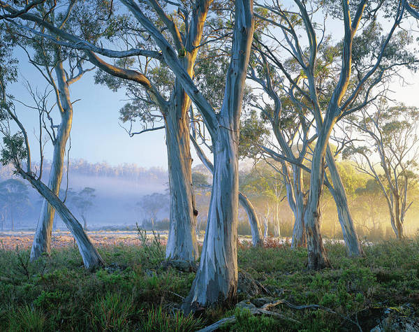 Photograph - Snowgums At Navarre Plains, South Of by Rob Blakers