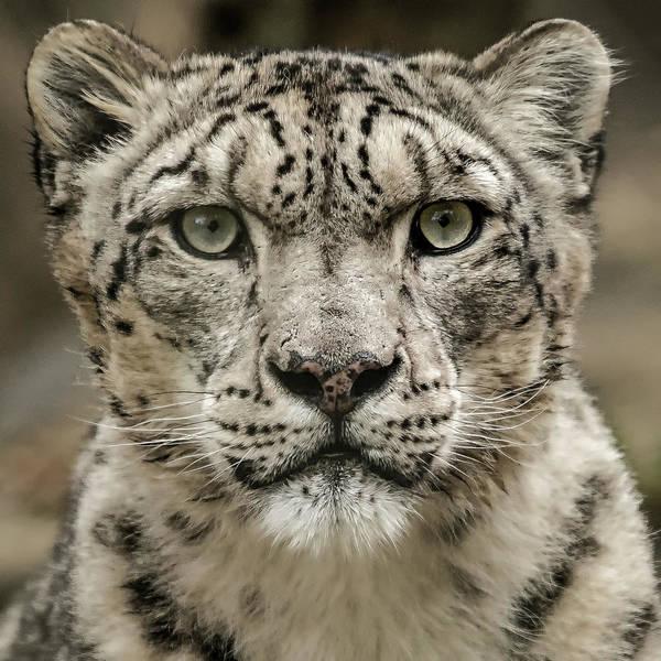 Snowleopardfacial Art Print