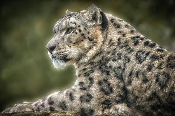 Photograph - Snowleopardportrait by Chris Boulton