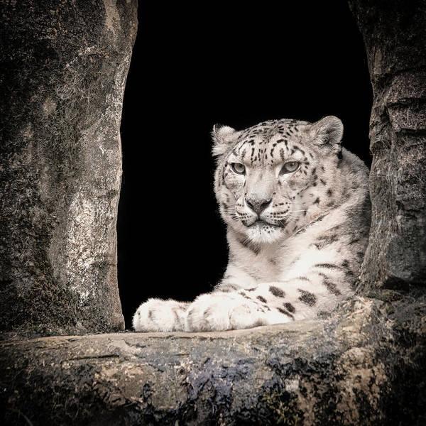Photograph - Snowleopardportrait2 by Chris Boulton