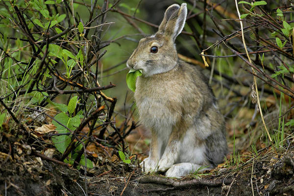 Snowshoe Photograph - Snowshoe Hare, Arctic National Wildlife by Mint Images - Art Wolfe
