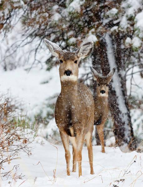 Photograph - Snowstorm Deer Partners by Steve Krull