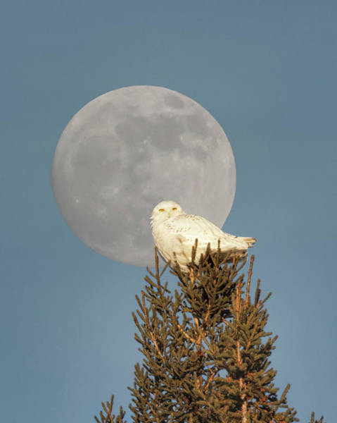 Photograph - Snowy And The Wolf Moon by Susan Rissi Tregoning