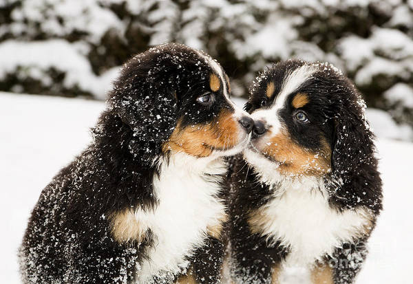 Experimenting Wall Art - Photograph - Snowy Bernese Mountain Dog Puppets by Einar Muoni