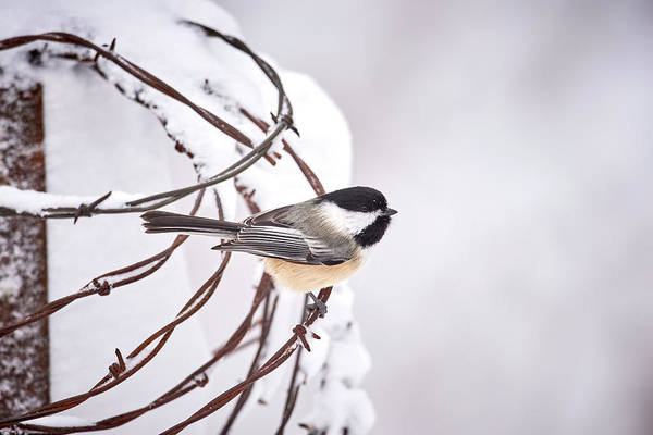Wall Art - Photograph - Snowy Black Capped Chickadee by Paul Freidlund