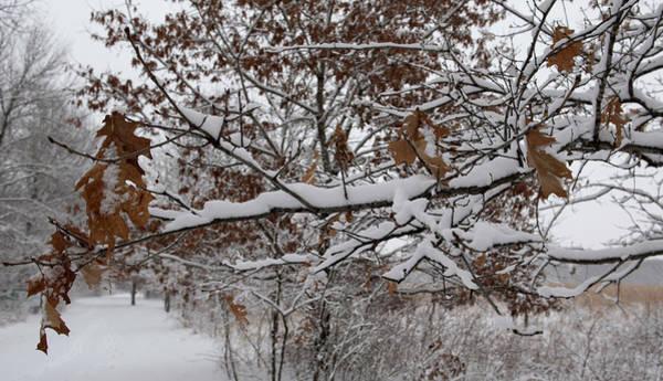 Photograph - Snowy Branch by Willard Sharp