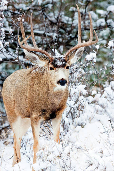 Photograph - Snowy Buck Mule Deer Portrait by Steve Krull
