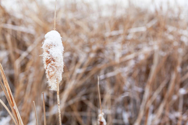 Photograph - Snowy Cattail by Jeanette Fellows