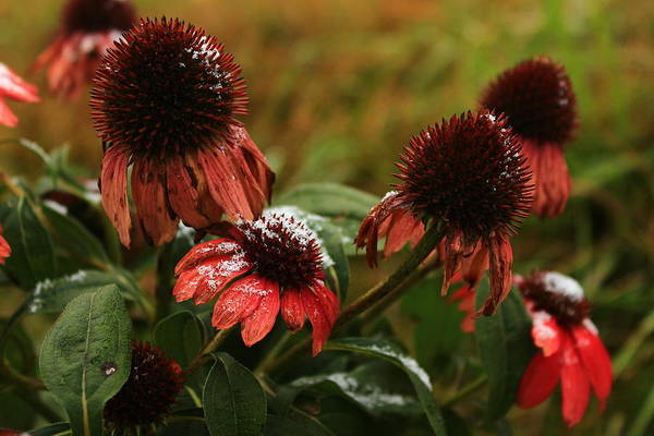 Wall Art - Photograph - Snowy Coneflowers by Kevin Wheeler