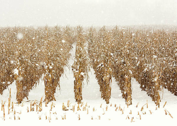 Stalk Photograph - Snowy Corn Stalks by Todd Klassy