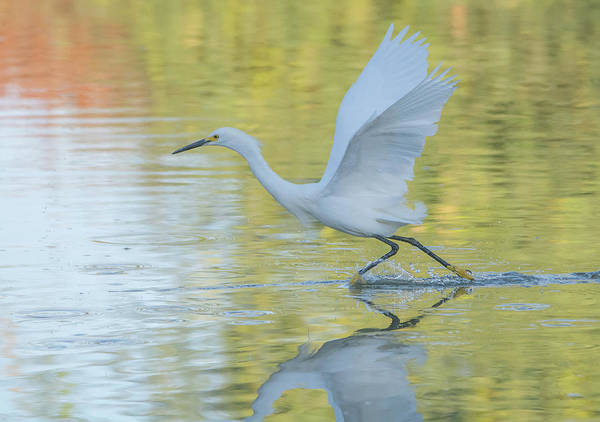 Photograph - Snowy Egret 061919-8682 by Tam Ryan