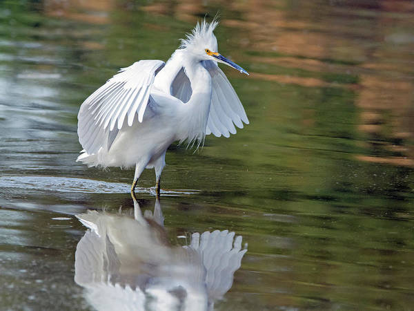 Photograph - Snowy Egret 1824-112018-1cr by Tam Ryan