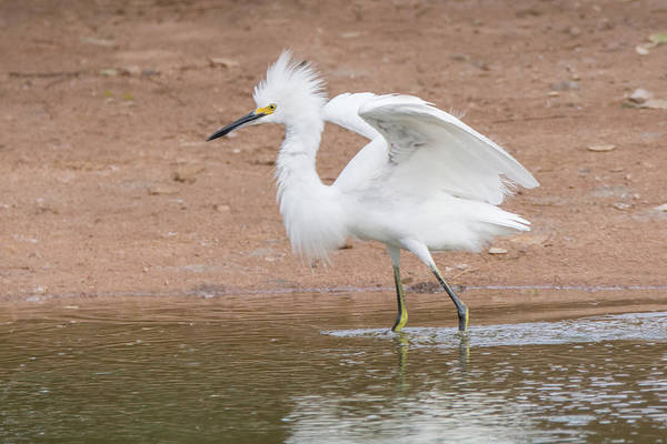 Photograph - Snowy Egret 2135-073118 by Tam Ryan