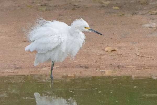 Photograph - Snowy Egret 2137-073118 by Tam Ryan