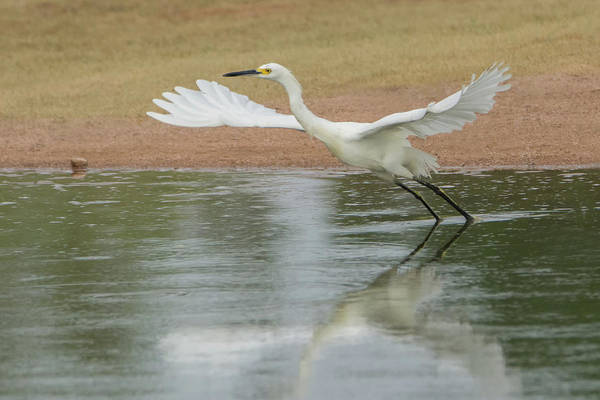 Photograph - Snowy Egret 2139-073118 by Tam Ryan
